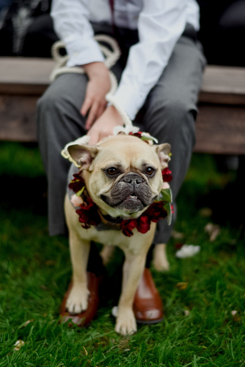 french bulldog wearing flowers at wisconsin wedding
