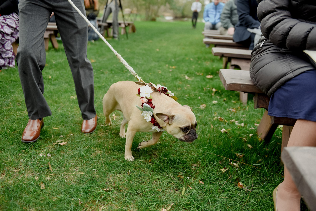french bulldog with floral as ring bearer