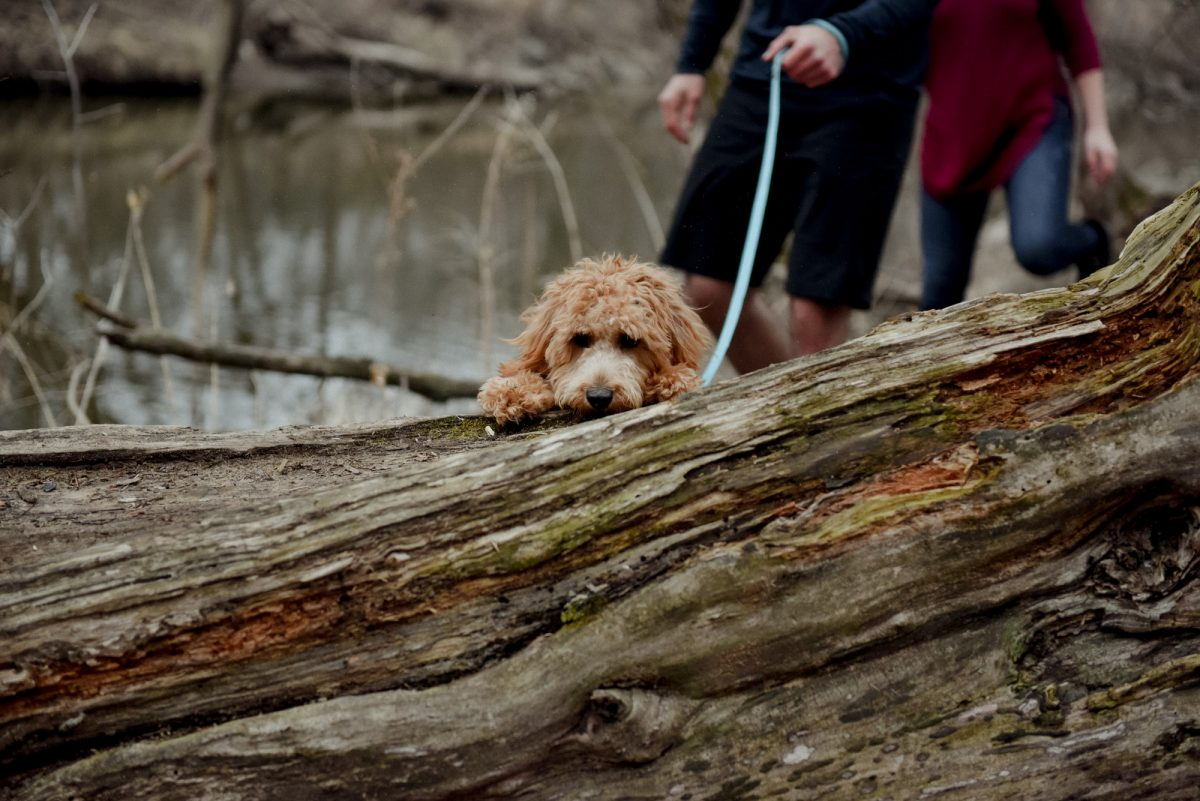 cockapoo puppy jumping over log